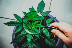 cannabis seed to sale platform